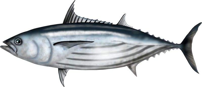 Graphic illustration of a skipjack tuna fish