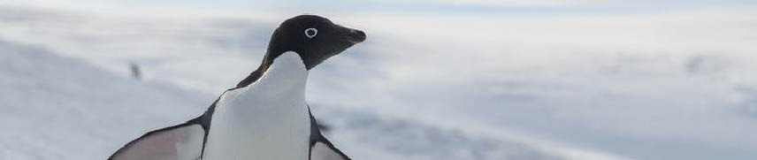 Adelie penguin in the Antarctic