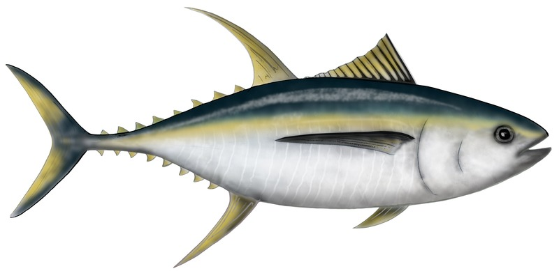 Graphic illustration of a yellowfin tuna fish.