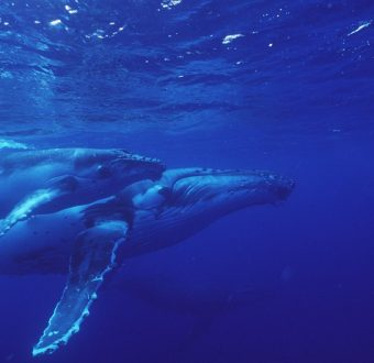An humpback whale and her calf. Protecting areas known as nurseries by creating marine reserves would benefit such species.