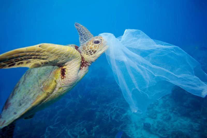 A turtle eating a plastic bag in the The Pacific ocean. Single-use plastic is a threat to marine life and killed hundreds thousands of sea creatures every year.