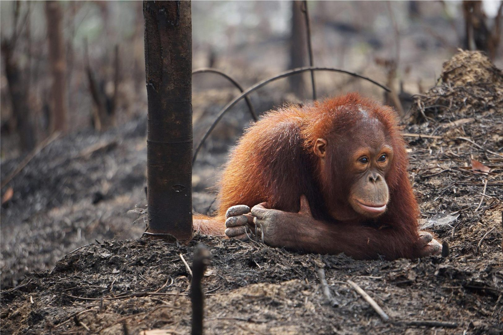 An orangutan sitting on the ground of a rainforest area that has been cleared for palm oil plantations.