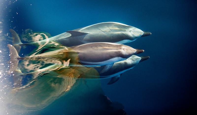 Dolphins at Pelagos Sanctuary