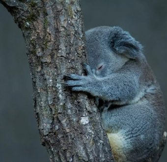 The Australian bushfires have destroyed prime koala habitat, especially in New South Wales