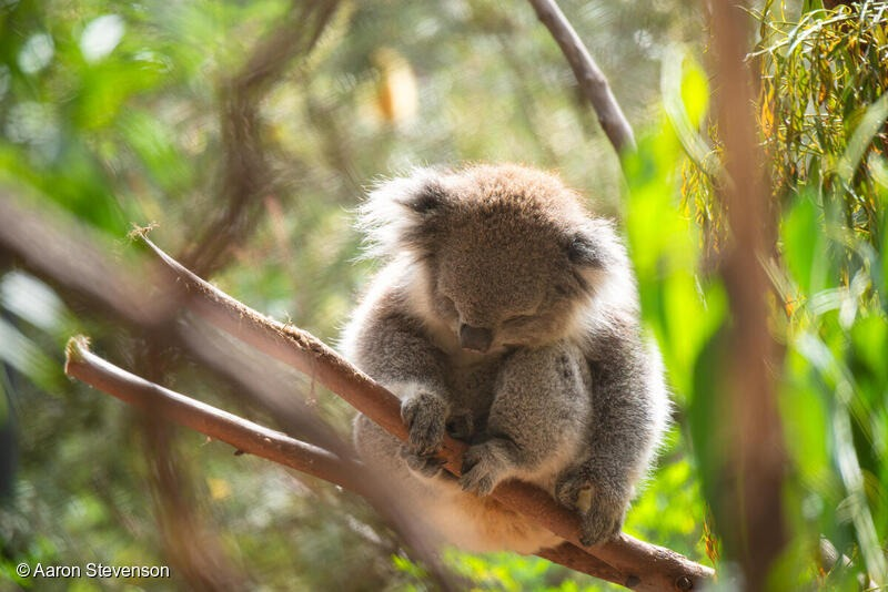 A rescued koala. Image: Aaron Stevenson/Greenpeace
